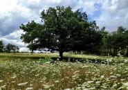Chêne centenaire sur la propriété